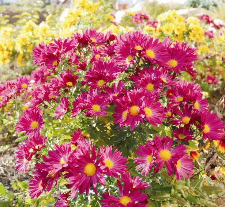 Amikor ránézek ezekre a gyönyörű virágokra, a nagymamám jut eszembe, ugyanis az övé volt az eredeti tő, amelynek az utódjai most nálunk virágoznak.