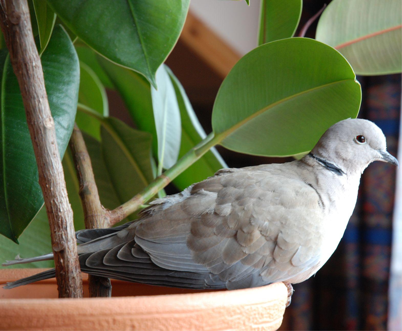 Amikor hazahoztuk ezt a sérült madárkát, nem gondolkodtunk azon, hogy ennek vajon milyen kedvező hatása lesz... A rövidtávon két kedvező hatása is volt: 1: nagyon sok örömet okozott nekünk, 2: megtrágyázta a fikuszt...