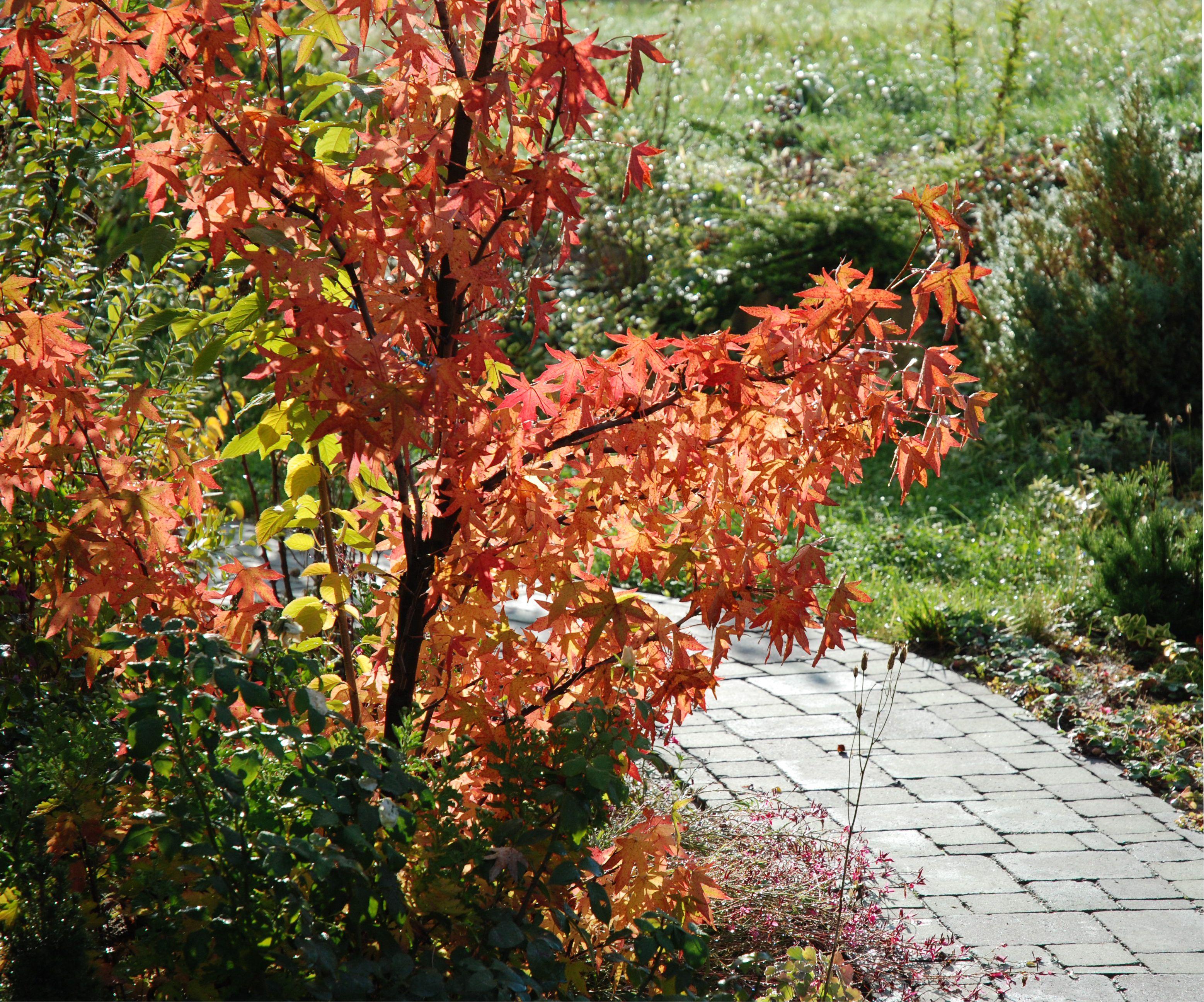 Az őszi kert egyik kincse az Amerikai ámbrafa