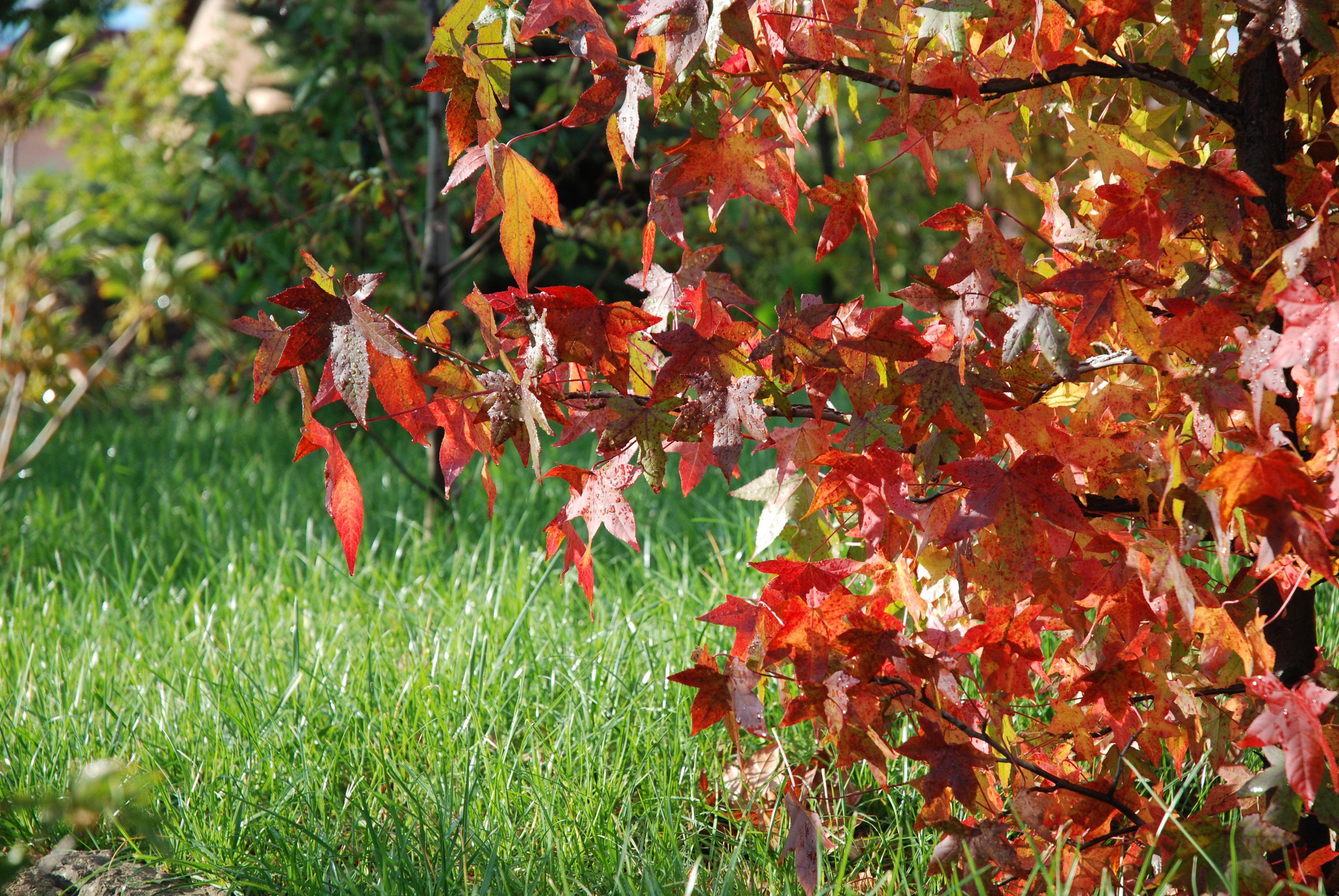 Az ámbrafának két titka van: 1. ültetéskor savanyítani kell a talaját, 2. nem kell trágyázni, a tápanyagdús talajon ugyanis nem lesz ilyen gyönyörű őszi lombszíne