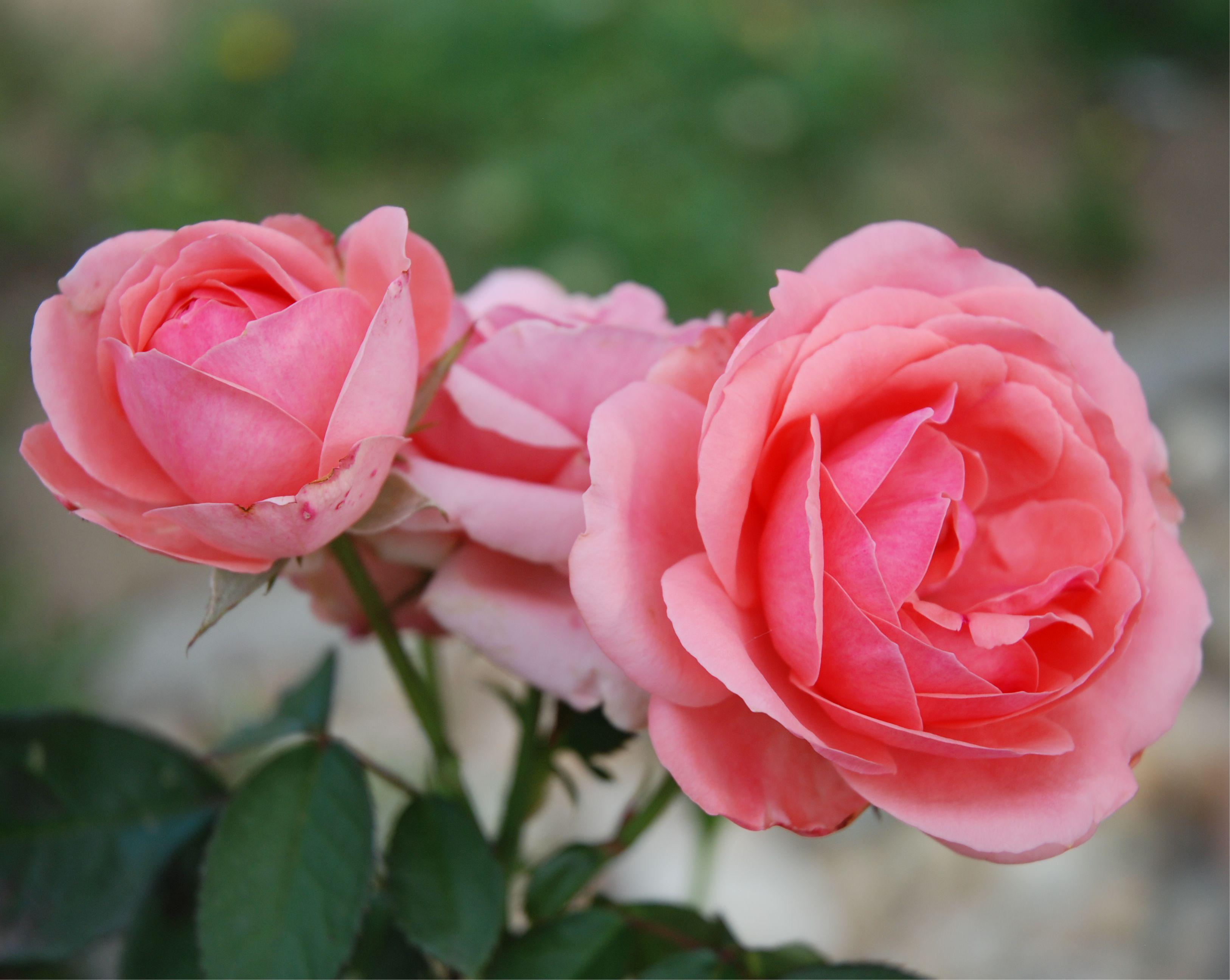 Számomra a rózsaszín az a virágszín, amit minden égtájon el tudok képzelni