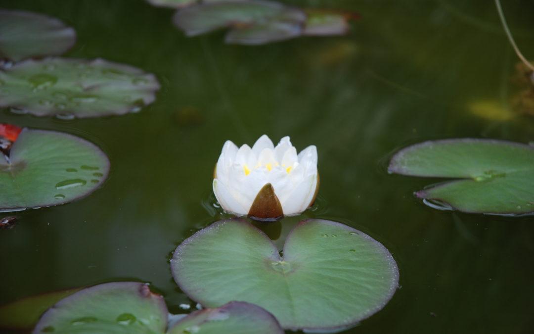 Ilyen csodaszép virágok csak tiszta, élő vízben élnek