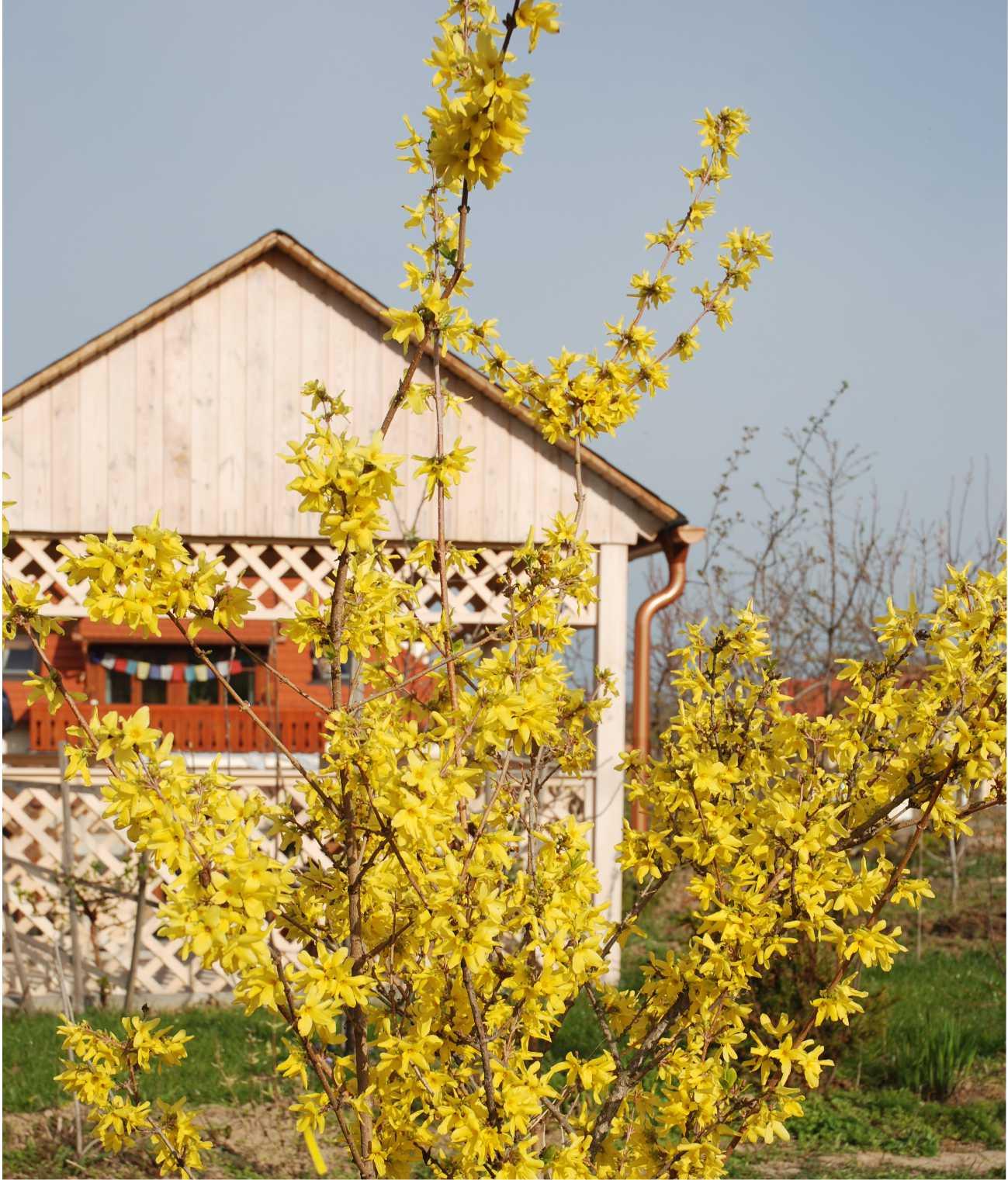 Azt mondják, hogy amikor a kertben nyílik az aranyeső és a piacon ibolyát árulnak, akkor itt a tavasz!