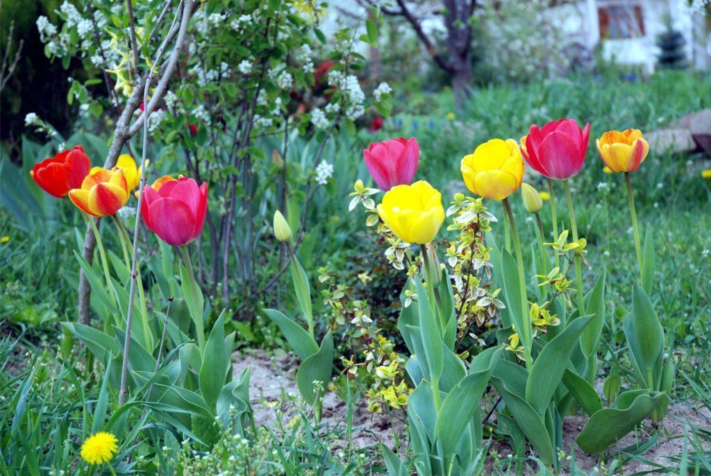 A tulipán nem kimondottan az illatáról híres. Pedig nagyon kellemes, lágy illata van! Ezzel az illattal egy légfrissítő sem vetekedhet!