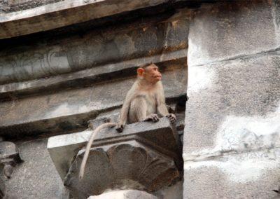 Az ősi falakon szivesen időznek a majmok.