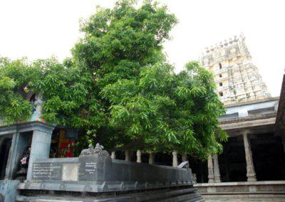 Úgy tartják, hogy ez alatt a fa alatt imádkozott Parvati, hogy Siva legyen a férje.