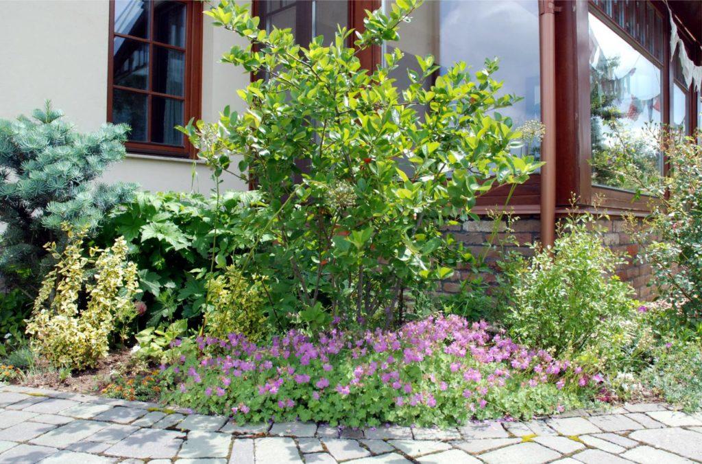 Egy másik divatos csodanövény a fekete berkenye. Tavasszal fehér virágruhát ölt, késő nyáron pedig elkezdenek érni a fekete bogyói, ami szintén teli vannak minden jóval. Alatta gólyaorr virágzik. Igénytelen, szépen terjed és szeretik a méhek.