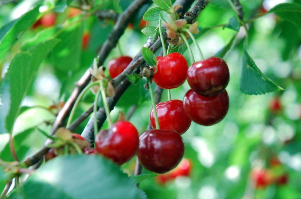 Tudtad, hogy a meggy gyógynövény? A meggyfának minden egyes része: termése, magja, szára, levele, sőt még a kérge is gyógyhatású! Most van a szezonja, együnk amennyi belénk fér!