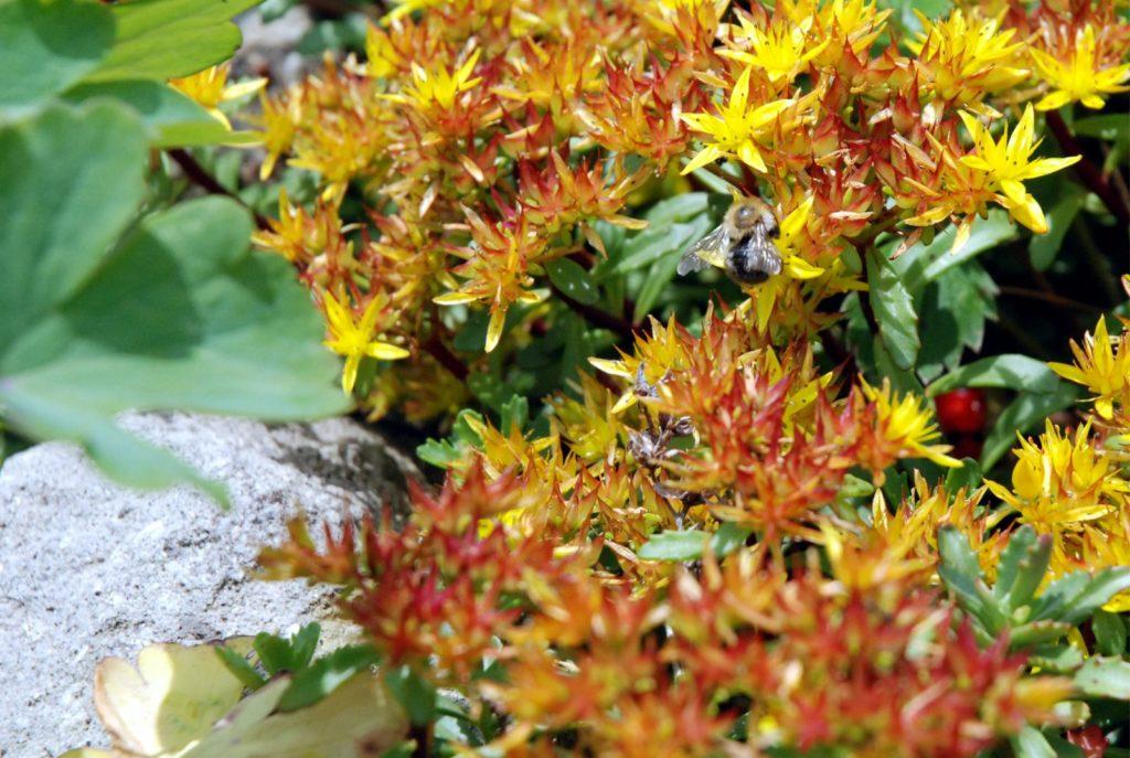 Sziklakertek igénytelen, de mutatós növénye a varjúháj. Nagyon könnyű szaporítani és a méhek imádják!