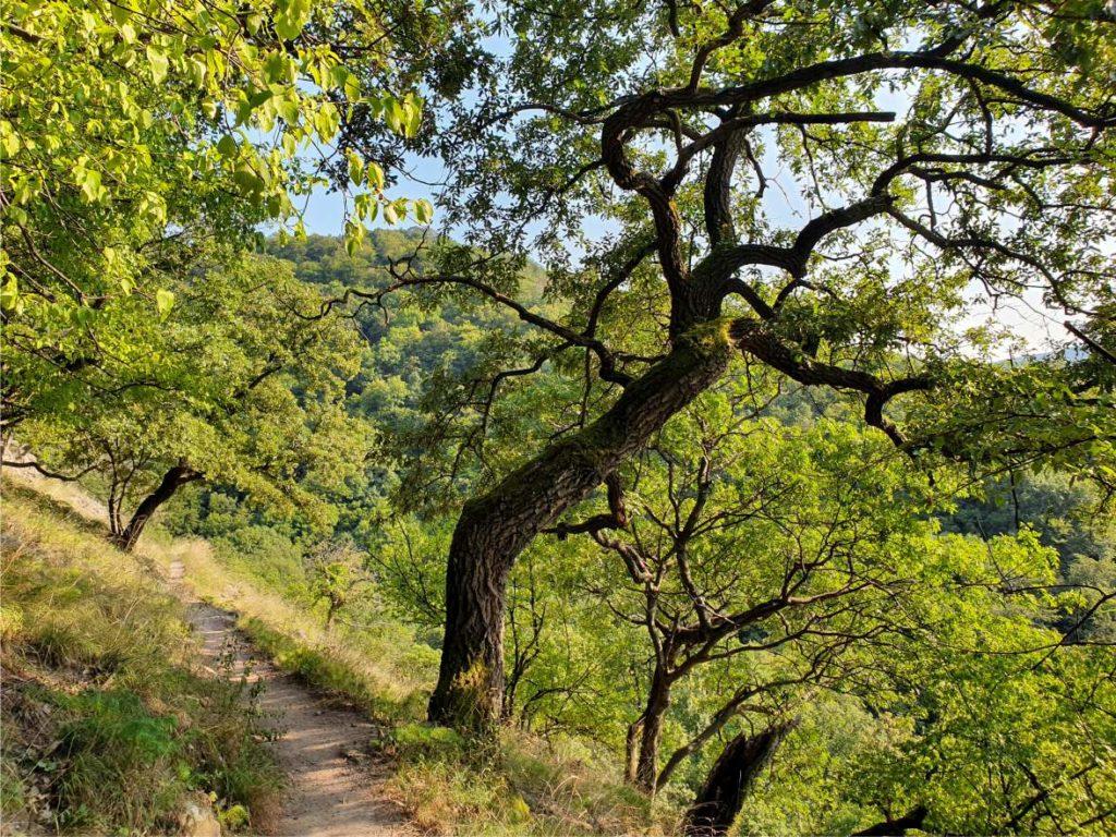 A Spartacus ösvény egy részlete a visegrádi hegységben. Hát nem gyönyörű? Ha még nem jártál ott, ajánlom a figyelmedbe. (Visegrád felől vagy Pilisszentlászló felől lehet megközelíteni.)