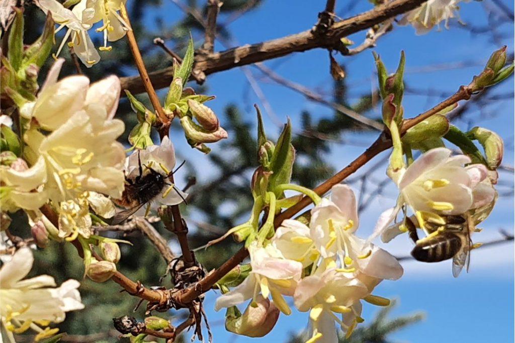 Tölts Te is minél több időt a szabadban, de kicsit másképp, mint eddig. Próbáld észrevenni a természet apró szépségeit: a virágokat, madarakat, méheket, a tavaszt... Én például ma reggel hosszú perceket töltöttem azzal, hogy a rendkívül illatos téli loncot megrohamozó méhecskéket próbáltam lefotózni. Ezen a képen kettőt is sikerült lencsvégre kapnom!